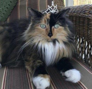 Sweet Tart the mayor cat wearing a crown