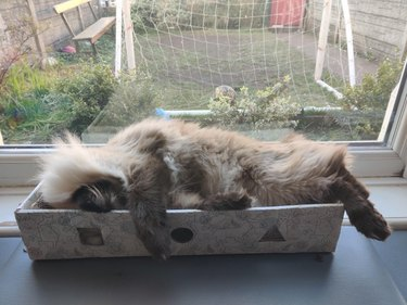 Fluffy cat in shoebox.