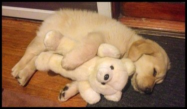 Labrador puppy sleeping with teddy bear.
