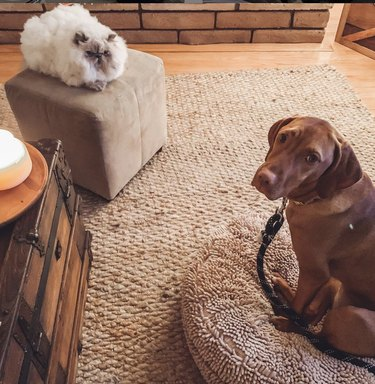 Dog looks sad and guilty while poofy cat looks down on him