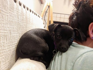 Puppy curled up on couch next to person's shoulder