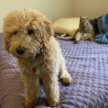 Fluffy puppy being stared down by angry fat cat