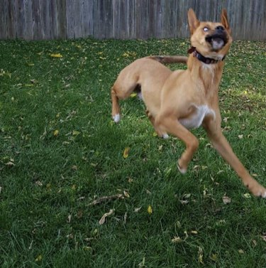 Dog making a funny face while jumping in the air