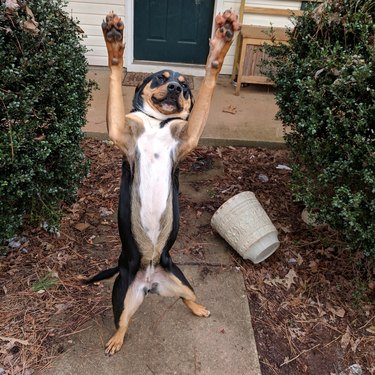 Dog on its back legs coming towards camera
