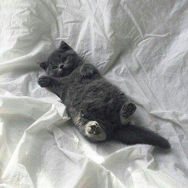 Chubby grey kitten