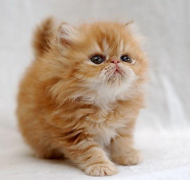 Chubby and fluffy kitten