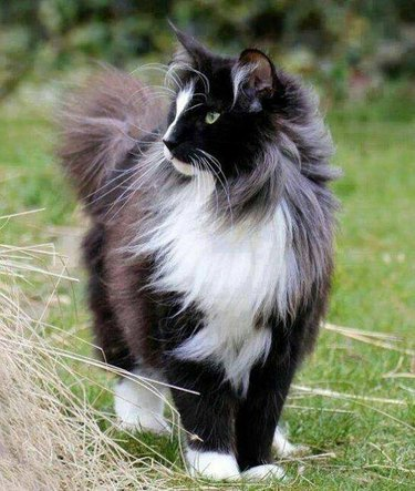 majestic cat with a sweeping coat
