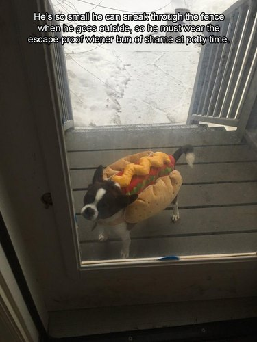 Dog wearing a hot dog costume to prevent him from slipping through fence.