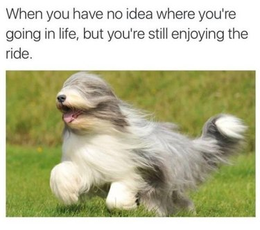 Long haired dog running with its hair obscuring its eyes. Caption: When you have no idea where you're going in life, but you're still enjoying the ride.
