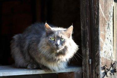 Large grey cat