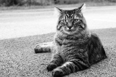 Large striped cat