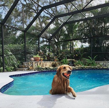 dog coming out of pool with ball in mouth