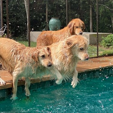 three goldens jumping into pool