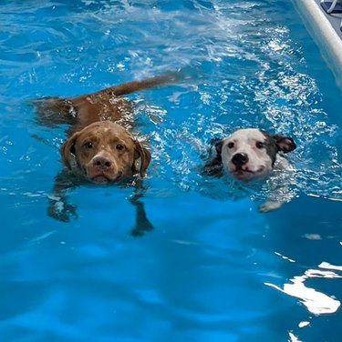 two dogs swimming side by side