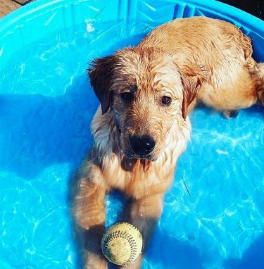golden retriever in pool with ball