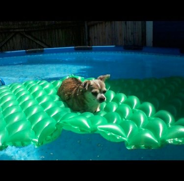 chihuahua on green pool floatie