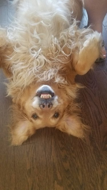 Dog upside down with its teeth bared in a smile