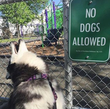 Husky howling next to playground with No Dogs Allowed sign