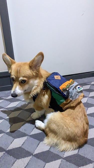 Corgi in a backpack