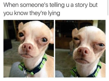 Chihuahua looking skeptical. Caption: When someone's telling u a story but you they're lying
