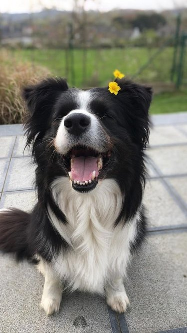Smiling dog with a flower behind its ear