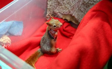 Armless squirrel outfitted with prosthetic wheels