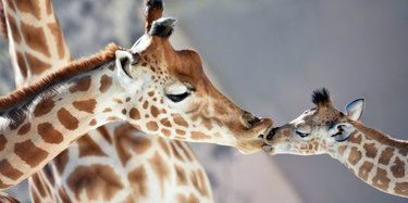 April The Giraffe Gave Birth A Year Ago & Here's How To Celebrate