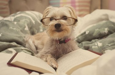 Dog posing with a book and wearing glasses.