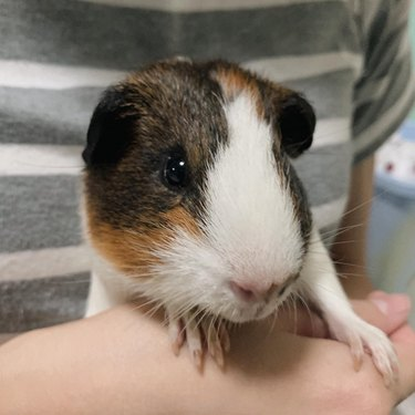 180 names for guinea pigs