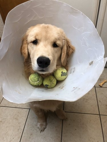 dog with tennis balls in cone of shame