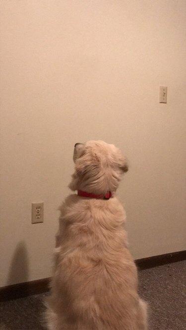 dog stares at wall