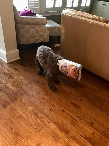 labradoodle with box on head