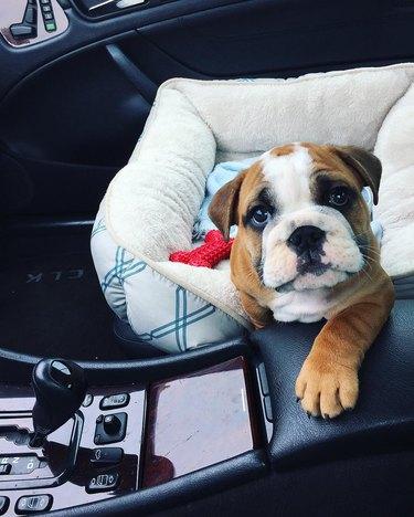18 chubby bulldog puppies