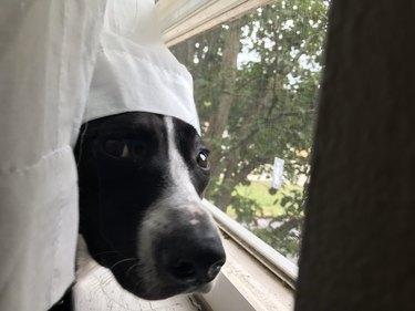dog mad at curtain