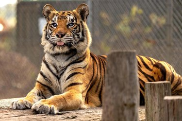 Tiger with its tongue sticking out
