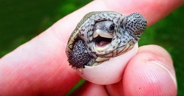 Baby turtle hatching