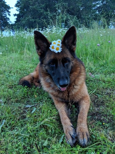 Dog in a field with daisies on its head.