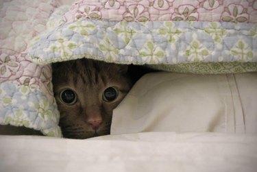 Cat hiding under blankets.