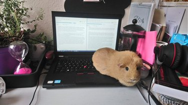 guinea pig sits on laptop