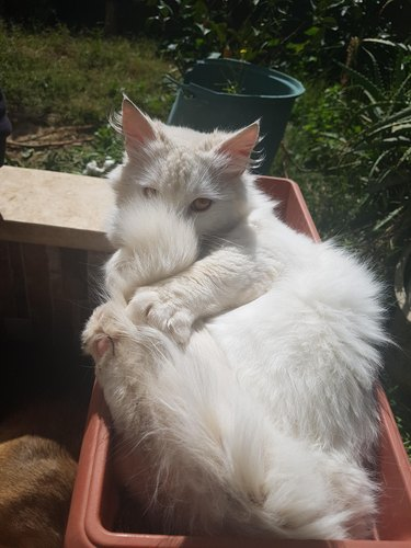 Fluffy white cat concealing its face behind its tail.