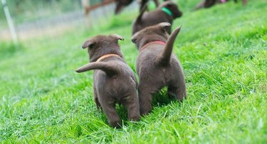 Two puppy butts