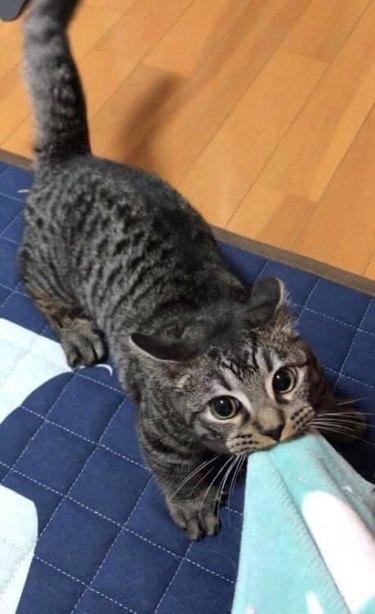 Cat tugging on blanket