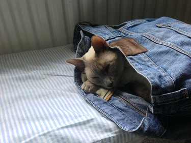 Cat sleeping in a pair of jeans