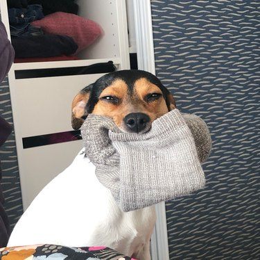 Dog very pleased to have sock in his mouth