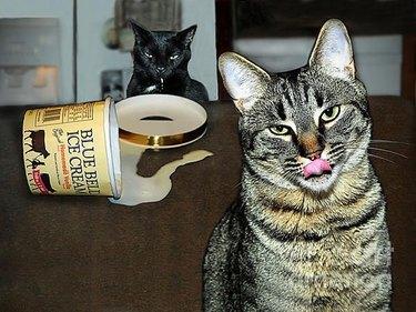 Cats with empty ice cream carton