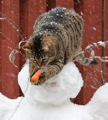 Cat taking carrot nose from snowman