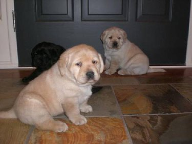 three sad fat puppies