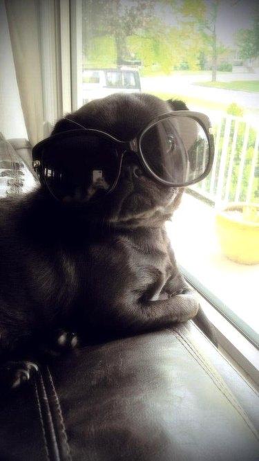 Pug pup in sunglasses