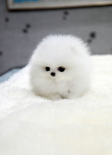 A very round fluffy pup