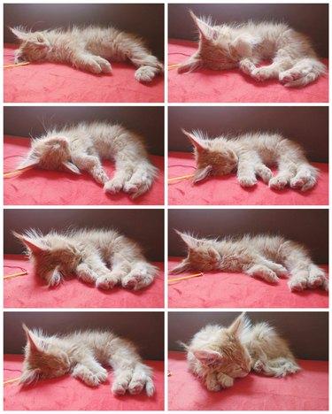 Maine Coon kitten sleeping